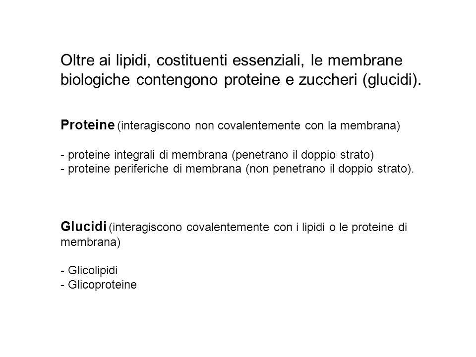 Oltre ai lipidi, costituenti essenziali, le membrane biologiche contengono proteine e zuccheri (glucidi).