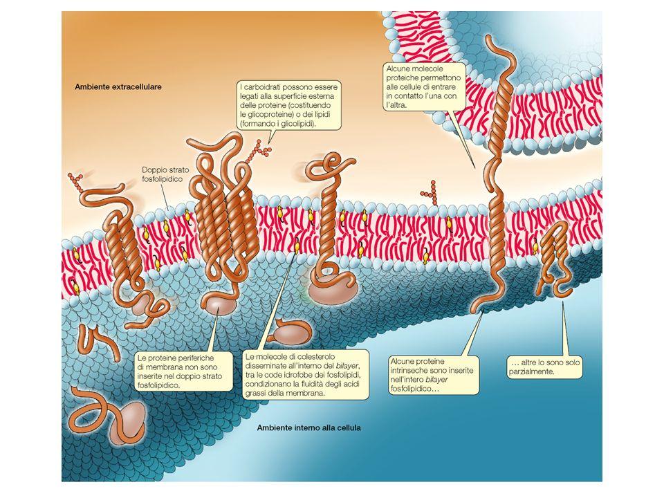 Le membrane definiscono i confini cellulari e dividono la cellula in compartimenti discreti. Regolano le comunicazioni tra l'interno e l'esterno della cellula,