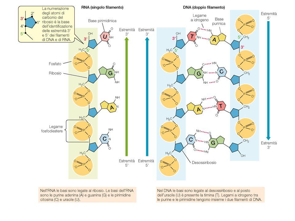 Funzioni degli acidi nucleici: