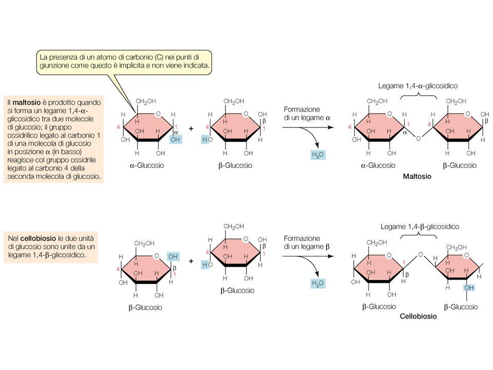 Funzione degli zuccheri. Energia e riserva di energia