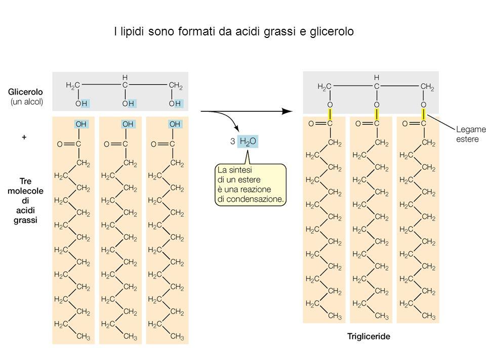 I lipidi sono formati da acidi grassi e glicerolo