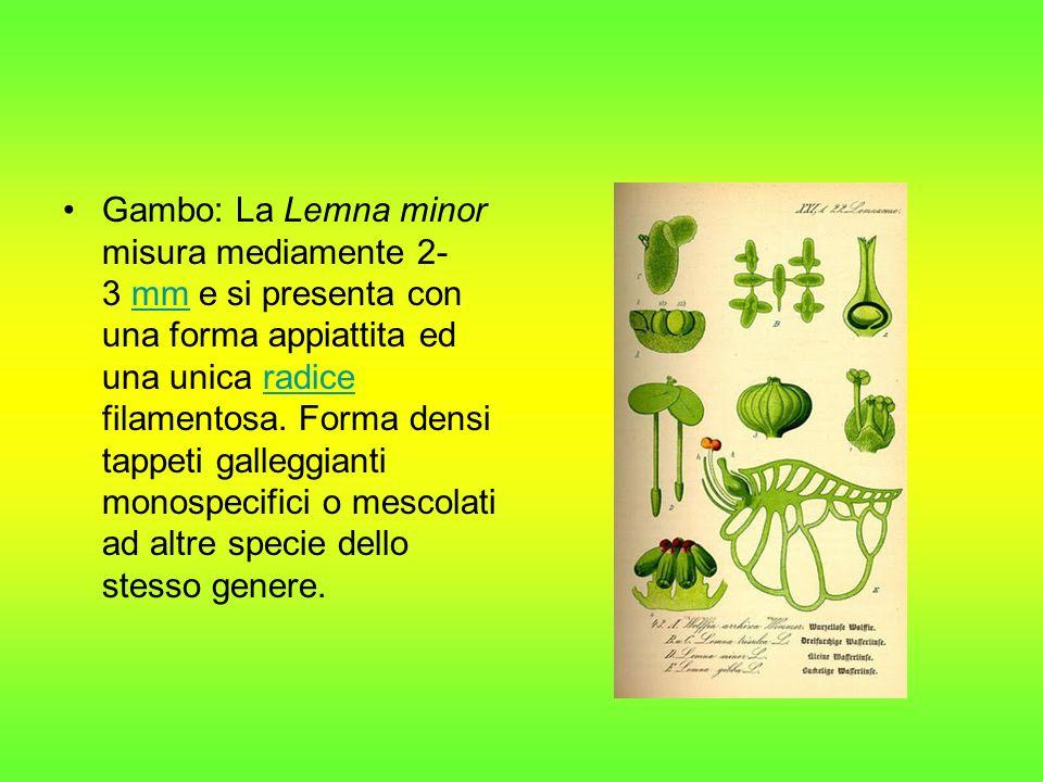 Gambo: La Lemna minor misura mediamente 2-3 mm e si presenta con una forma appiattita ed una unica radice filamentosa.