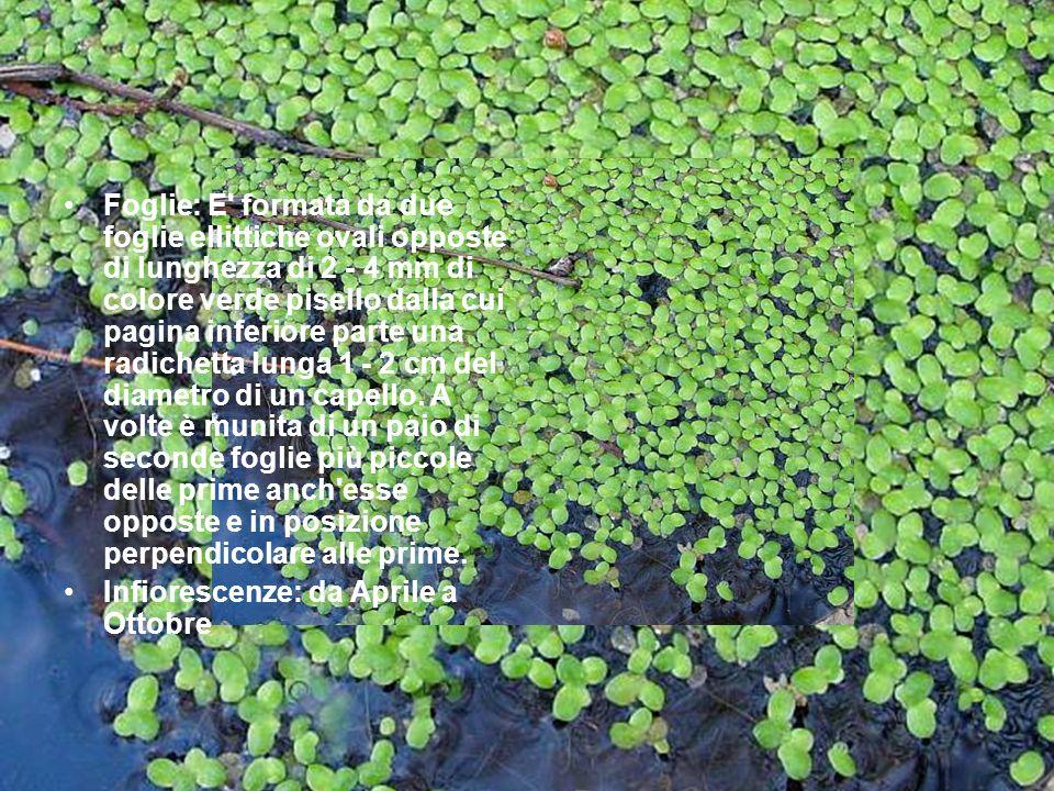 Foglie: E formata da due foglie ellittiche ovali opposte di lunghezza di 2 - 4 mm di colore verde pisello dalla cui pagina inferiore parte una radichetta lunga 1 - 2 cm del diametro di un capello. A volte è munita di un paio di seconde foglie più piccole delle prime anch esse opposte e in posizione perpendicolare alle prime.