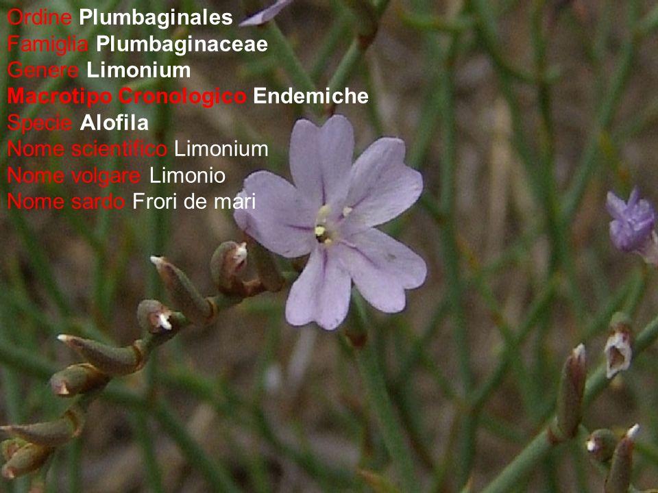 Ordine Plumbaginales Famiglia Plumbaginaceae. Genere Limonium. Macrotipo Cronologico Endemiche. Specie Alofila.