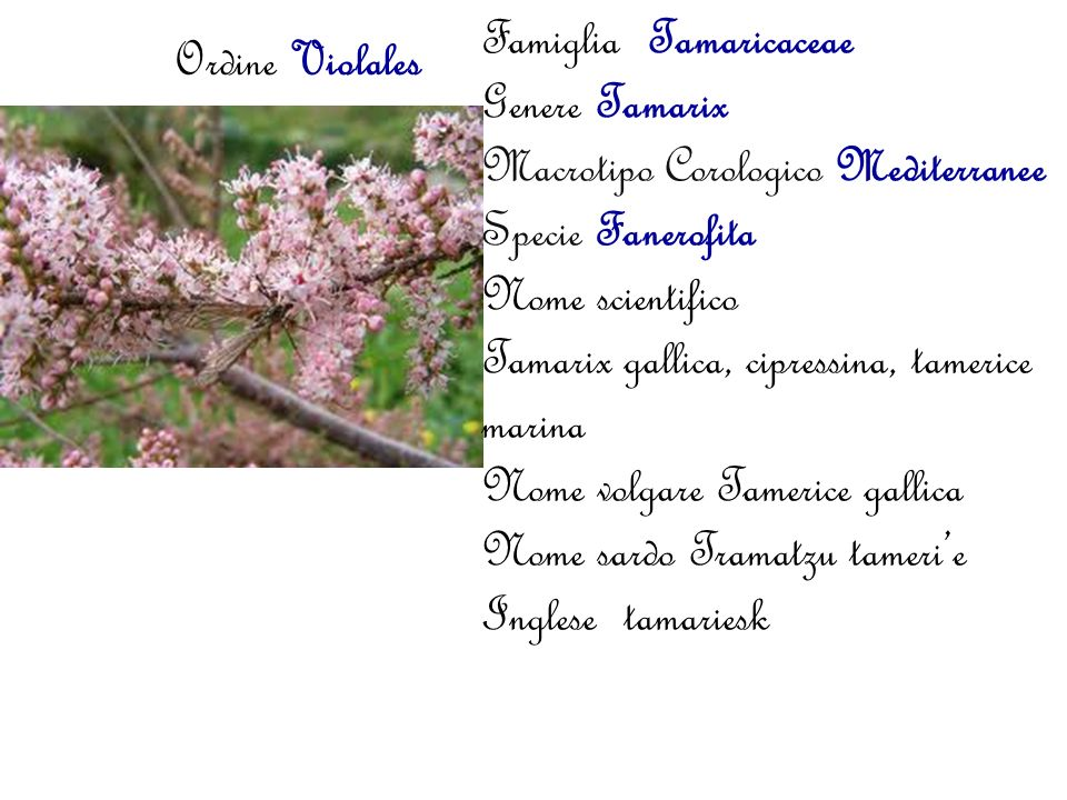Famiglia Tamaricaceae