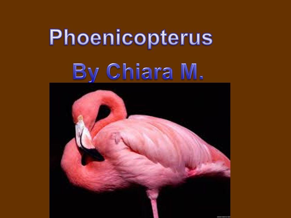 Phoenicopterus By Chiara M.