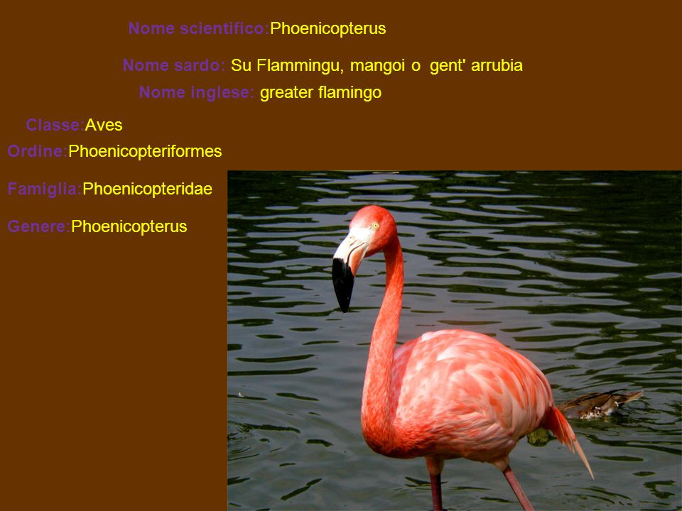 Nome scientifico:Phoenicopterus