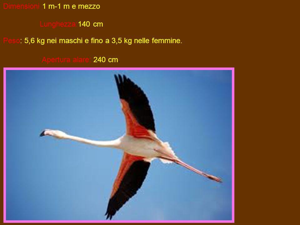 Dimensioni 1 m-1 m e mezzoLunghezza:140 cm.Peso: 5,6 kg nei maschi e fino a 3,5 kg nelle femmine.