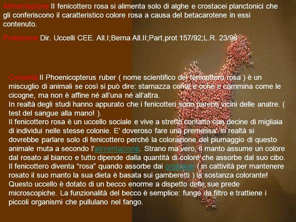 Alimentazione:Il fenicottero rosa si alimenta solo di alghe e crostacei planctonici che gli conferiscono il caratteristico colore rosa a causa del betacarotene in essi contenuto.