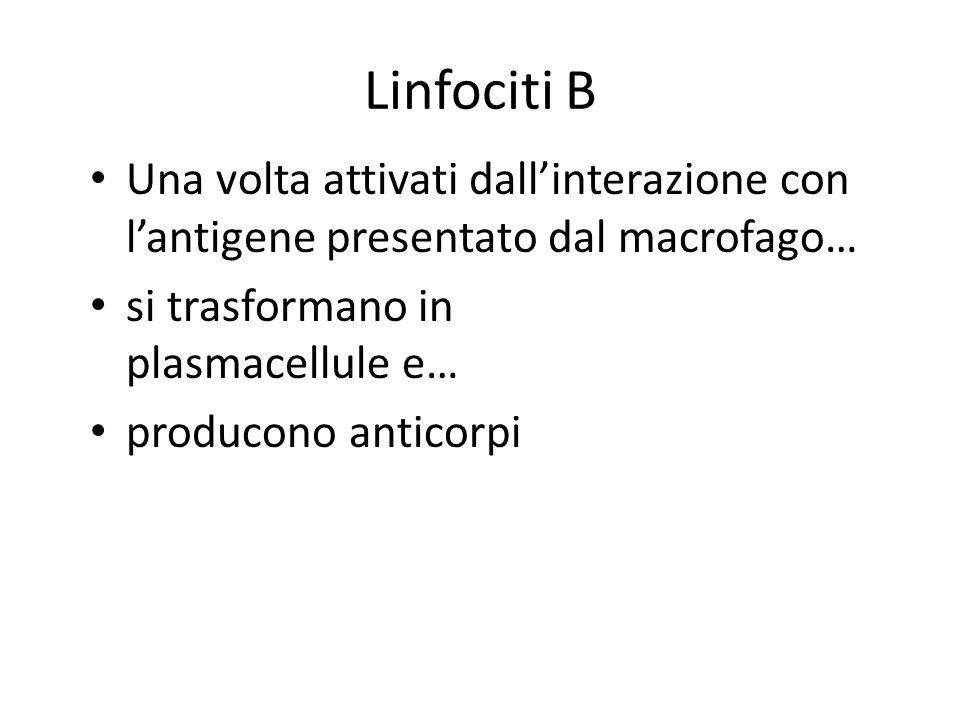 Linfociti B Una volta attivati dall'interazione con l'antigene presentato dal macrofago… si trasformano in plasmacellule e…