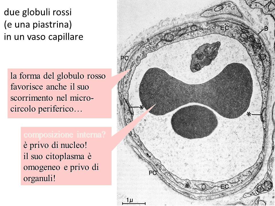 due globuli rossi (e una piastrina) in un vaso capillare