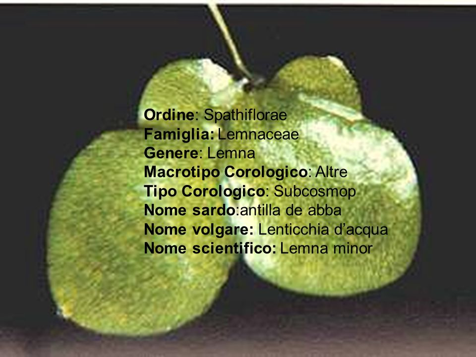 Ordine: Spathiflorae Famiglia: Lemnaceae. Genere: Lemna Macrotipo Corologico: Altre Tipo Corologico: Subcosmop.