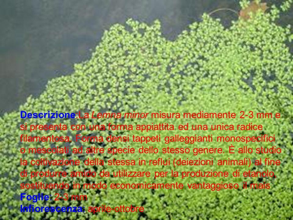 Descrizione:La Lemna minor misura mediamente 2-3 mm e si presenta con una forma appiattita ed una unica radice filamentosa. Forma densi tappeti galleggianti monospecifici o mescolati ad altre specie dello stesso genere. È allo studio la coltivazione della stessa in reflui (deiezioni animali) al fine di produrre amido da utilizzare per la produzione di etanolo, sostituendo in modo economicamente vantaggioso il mais