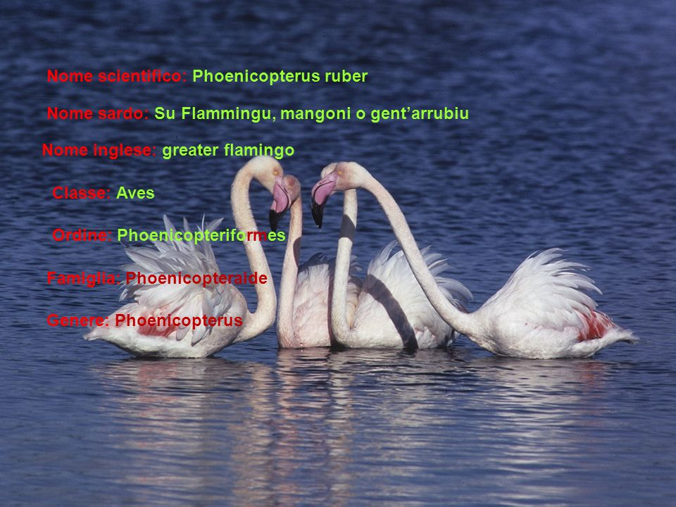 Nome scientifico: Phoenicopterus ruber