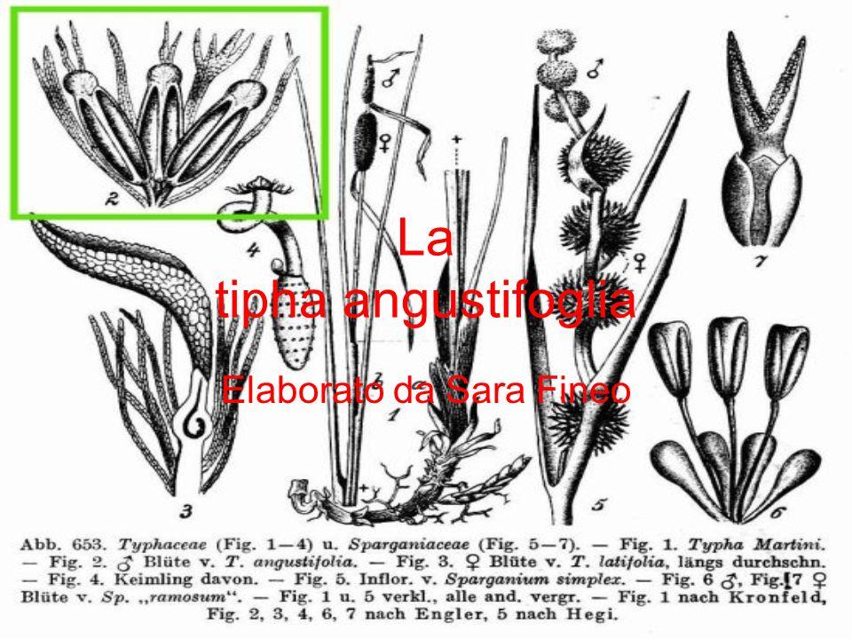 La tipha angustifoglia
