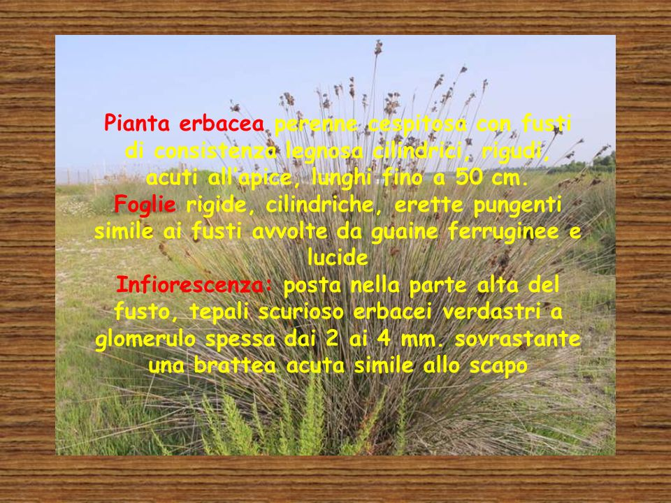 Pianta erbacea perenne cespitosa con fusti di consistenza legnosa cilindrici, rigudi, acuti all'apice, lunghi fino a 50 cm.