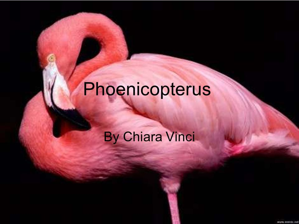 Phoenicopterus By Chiara Vinci