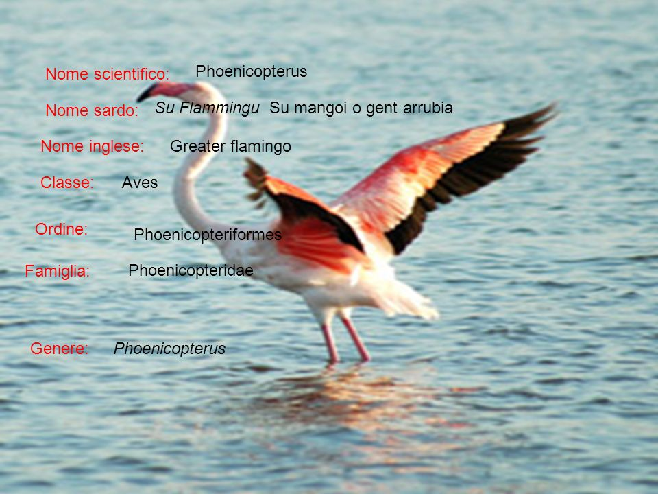 Nome scientifico: Phoenicopterus. Nome sardo: Su Flammingu Su mangoi o gent arrubia. Nome inglese: