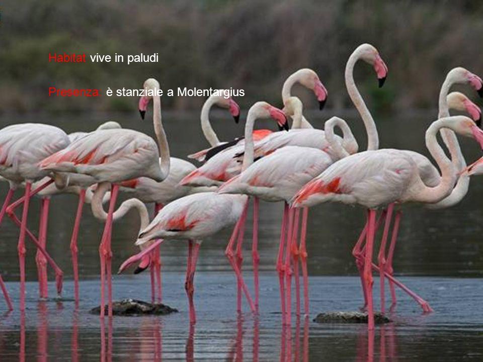 Habitat vive in paludi Presenza: è stanziale a Molentargius