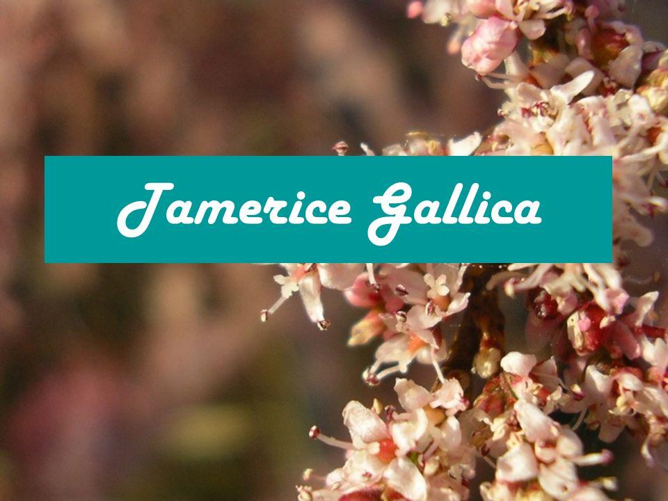 Tamerice Gallica