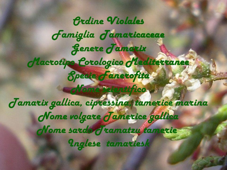 Famiglia Tamaricaceae Genere Tamarix Macrotipo Corologico Mediterranee