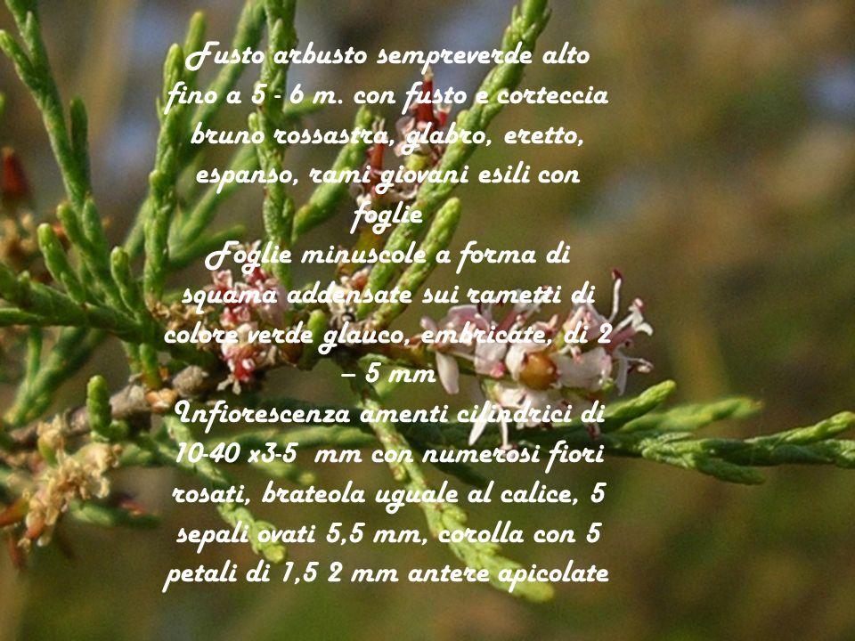 Fusto arbusto sempreverde alto fino a 5 - 6 m