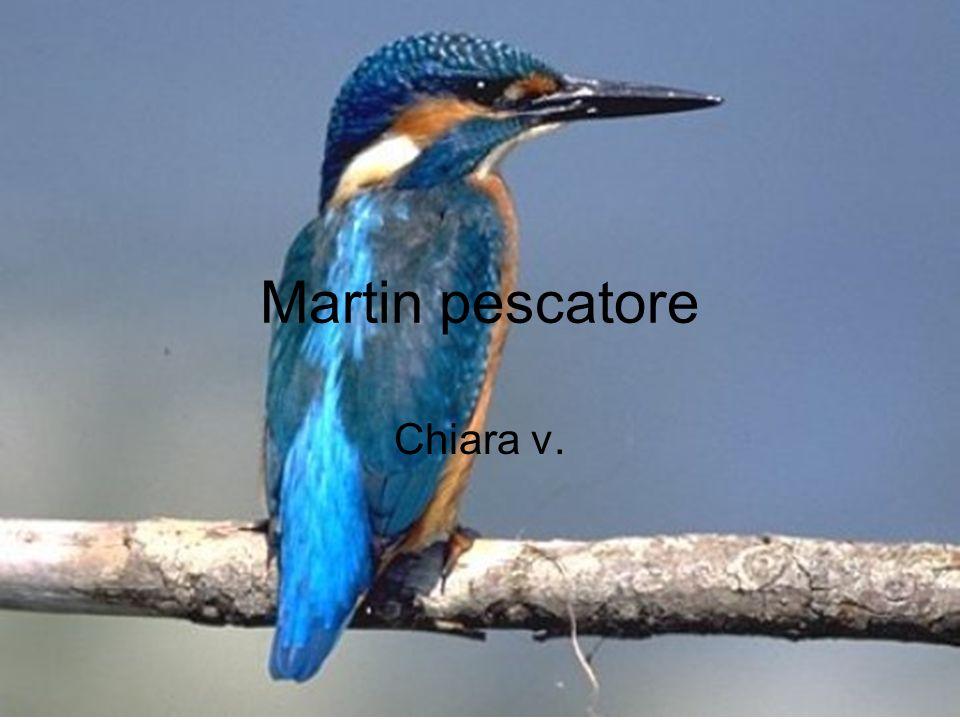 Martin pescatore Chiara v.