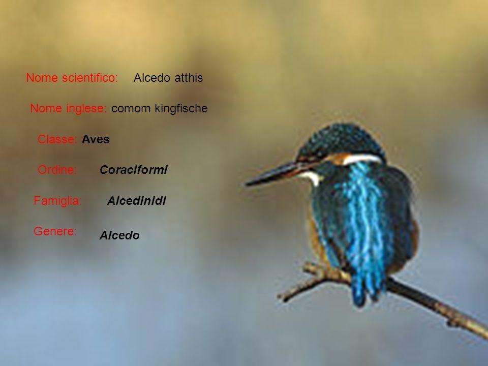 Nome scientifico: Alcedo atthis. Nome inglese: comom kingfische. Classe: Aves. Ordine: Coraciformi.