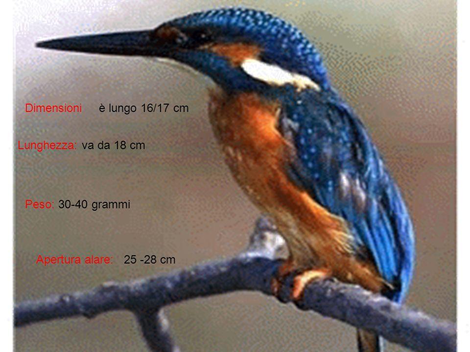 Dimensioni è lungo 16/17 cm Lunghezza: va da 18 cm Peso: 30-40 grammi Apertura alare: 25 -28 cm
