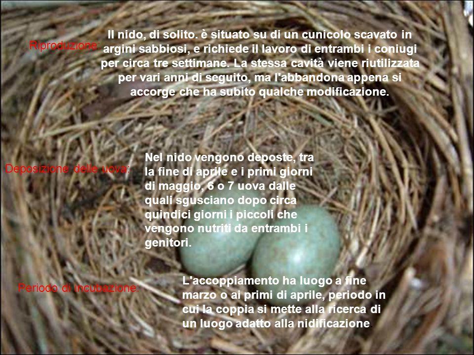 Il nido, di solito. è situato su di un cunicolo scavato in argini sabbiosi, e richiede il lavoro di entrambi i coniugi per circa tre settimane. La stessa cavità viene riutilizzata per vari anni di seguito, ma l abbandona appena si accorge che ha subito qualche modificazione.