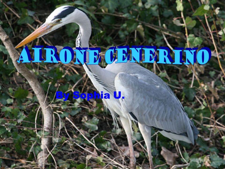 Airone Cenerino By Sophia U.