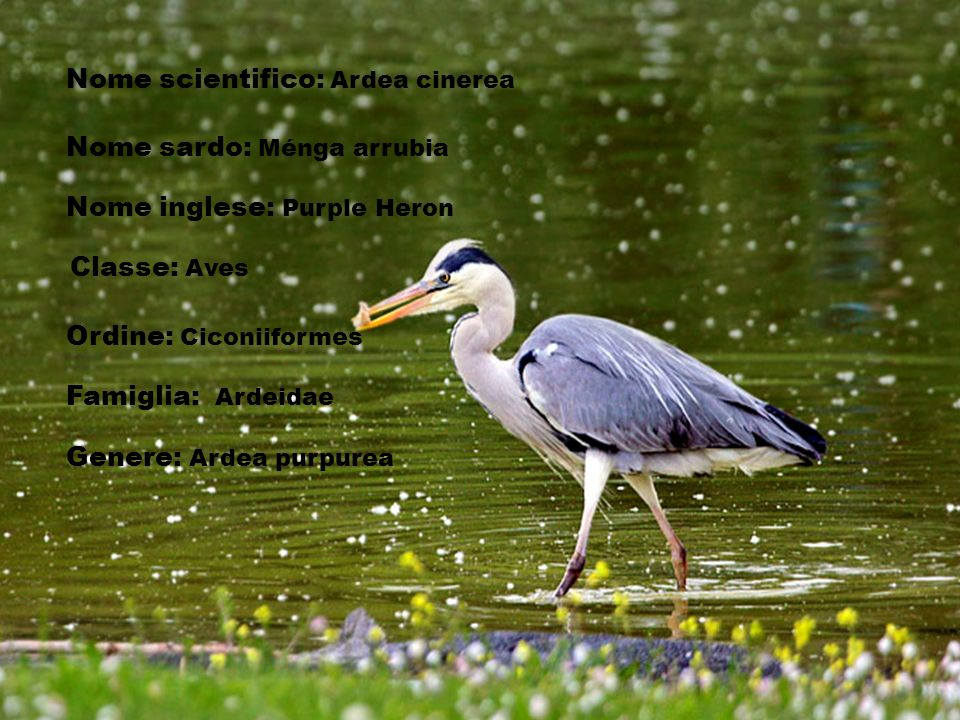 Nome scientifico: Ardea cinerea