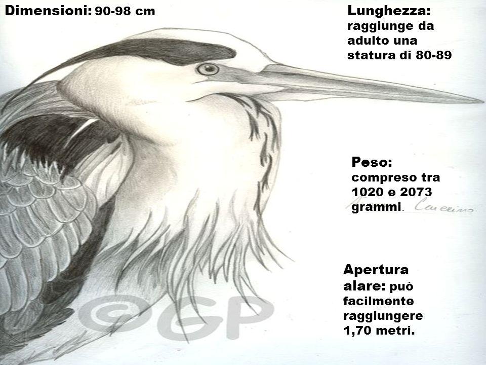 Dimensioni: 90-98 cm Lunghezza: raggiunge da adulto una statura di 80-89. Peso: compreso tra 1020 e 2073 grammi.