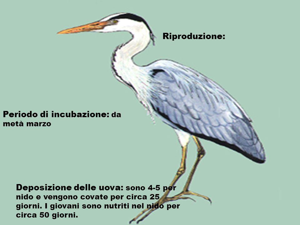 Riproduzione: Periodo di incubazione: da metà marzo.