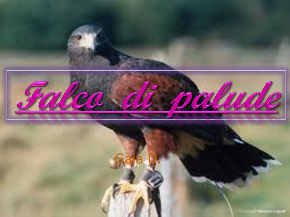 Falco di palude Gaia D.