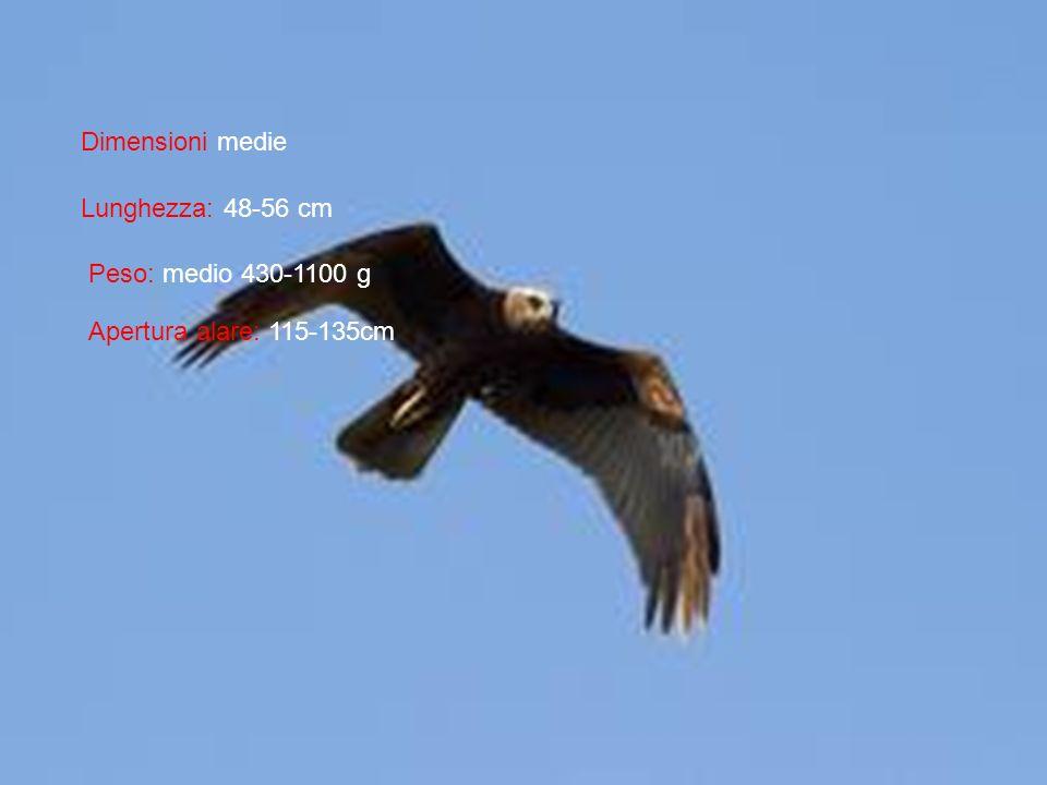 Dimensioni medie Lunghezza: 48-56 cm Peso: medio 430-1100 g Apertura alare: 115-135cm