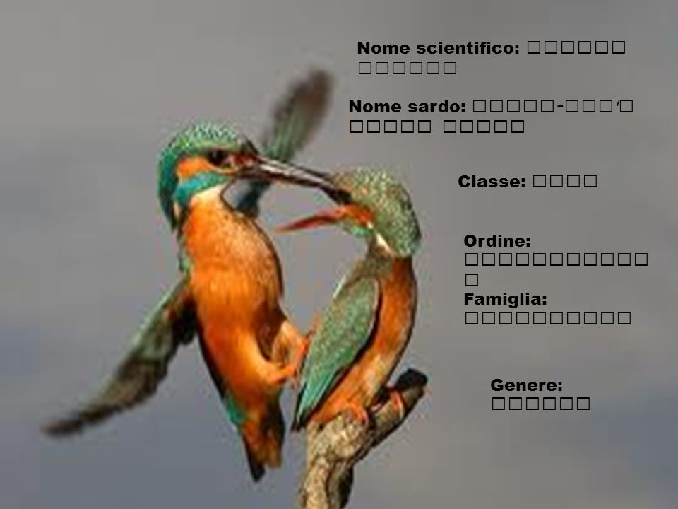 Nome scientifico: Alcedo Atthis