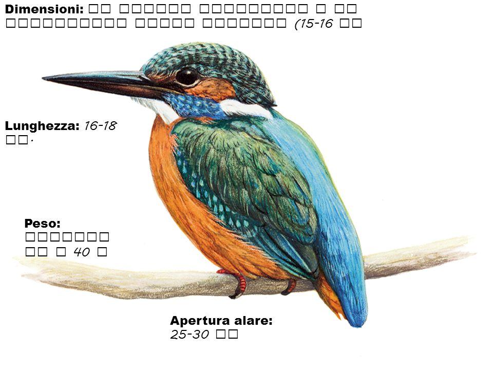 Dimensioni: il martin pescatore e di dimensioni molto piccole (15-16 cm