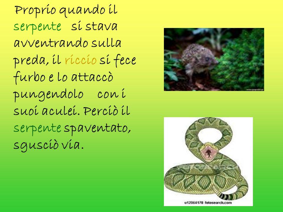 Proprio quando il serpente si stava avventrando sulla preda, il riccio si fece furbo e lo attaccò pungendolo con i suoi aculei.
