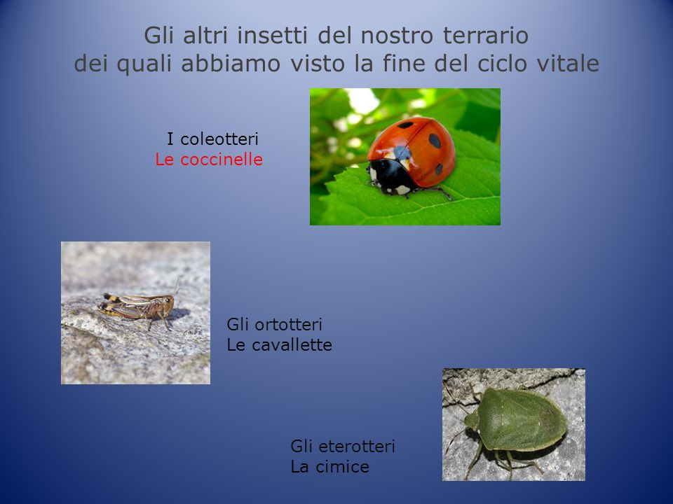 Gli altri insetti del nostro terrario dei quali abbiamo visto la fine del ciclo vitale