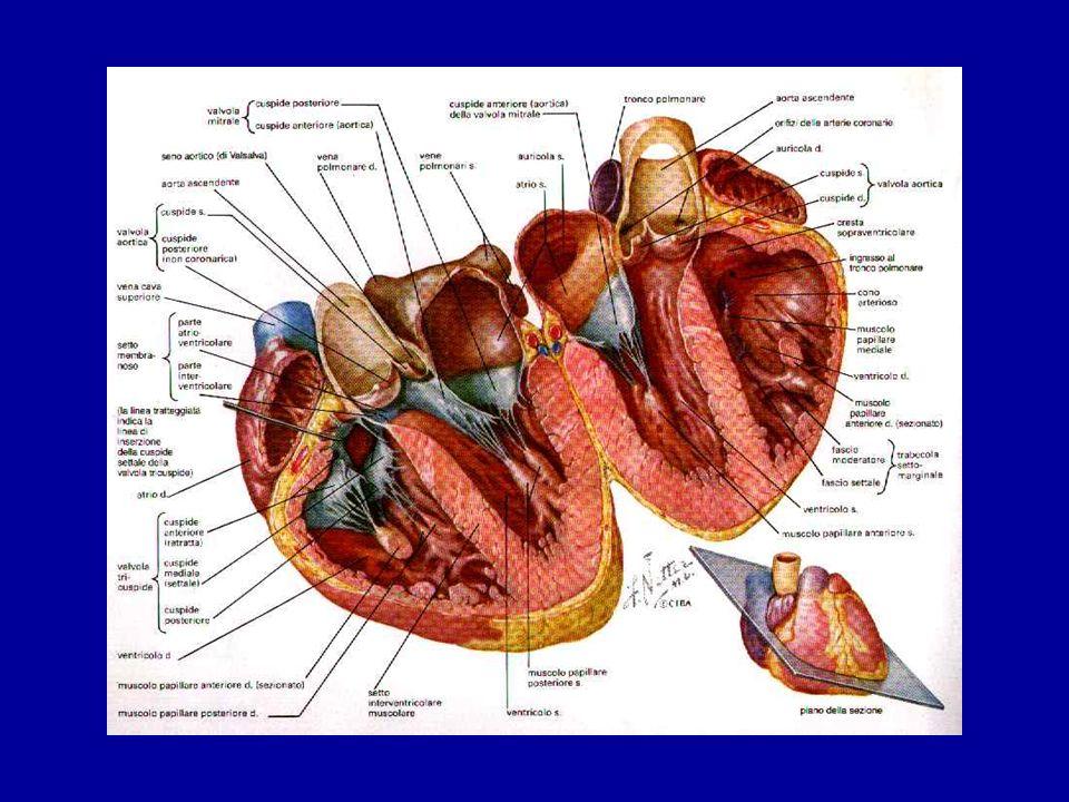 Sezionando il cuore dall'apice alla base si può osservare come le valvole atrio-ventricolari (mitrale a sinistra e tricuspide a destra) sono formati da foglietti di tessuto fibroso i cui margini sono connessi mediante delle corde tendinee alla muscolatura dei ventricoli: muscoli papillari.