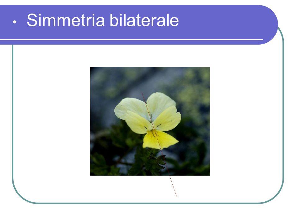 Simmetria bilaterale