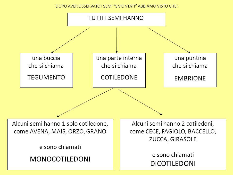 MONOCOTILEDONI TEGUMENTO COTILEDONE TUTTI I SEMI HANNO