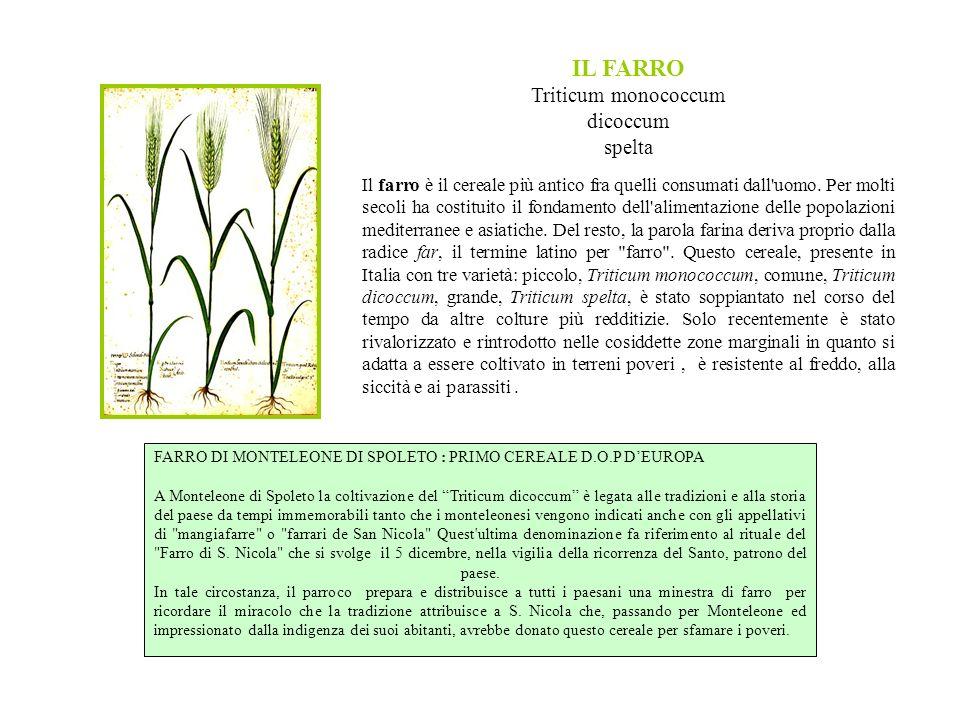 Triticum monococcum dicoccum spelta