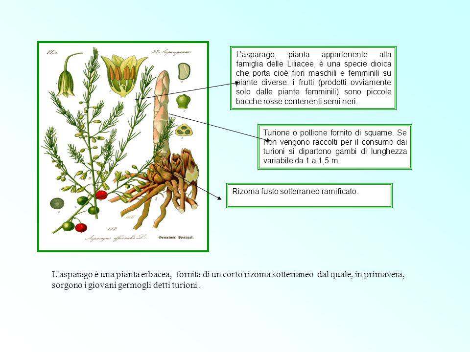 L'asparago, pianta appartenente alla famiglia delle Liliacee, è una specie dioica che porta cioè fiori maschili e femminili su piante diverse: i frutti (prodotti ovviamente solo dalle piante femminili) sono piccole bacche rosse contenenti semi neri.