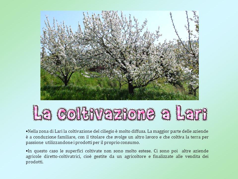 Nella zona di Lari la coltivazione del ciliegio è molto diffusa