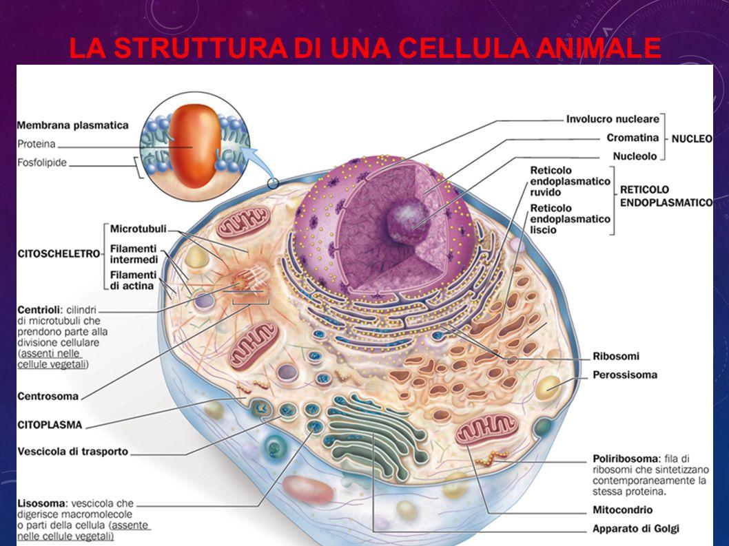 La struttura di una cellula animale