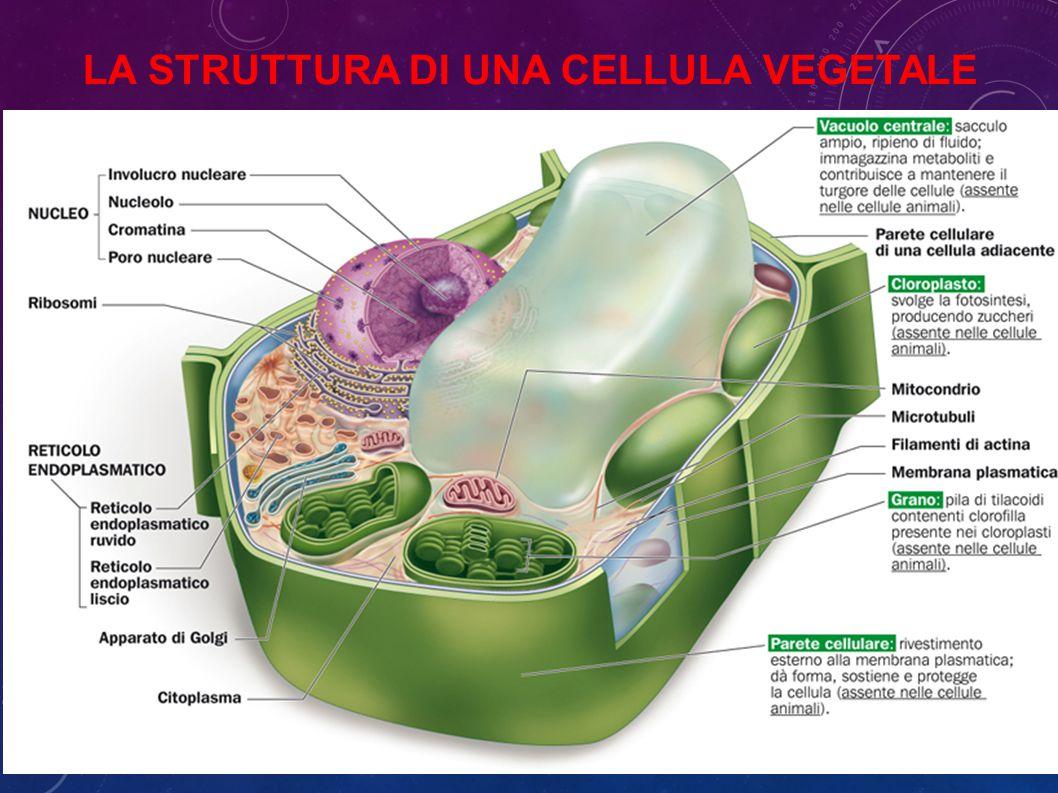 La struttura di una cellula vegetale