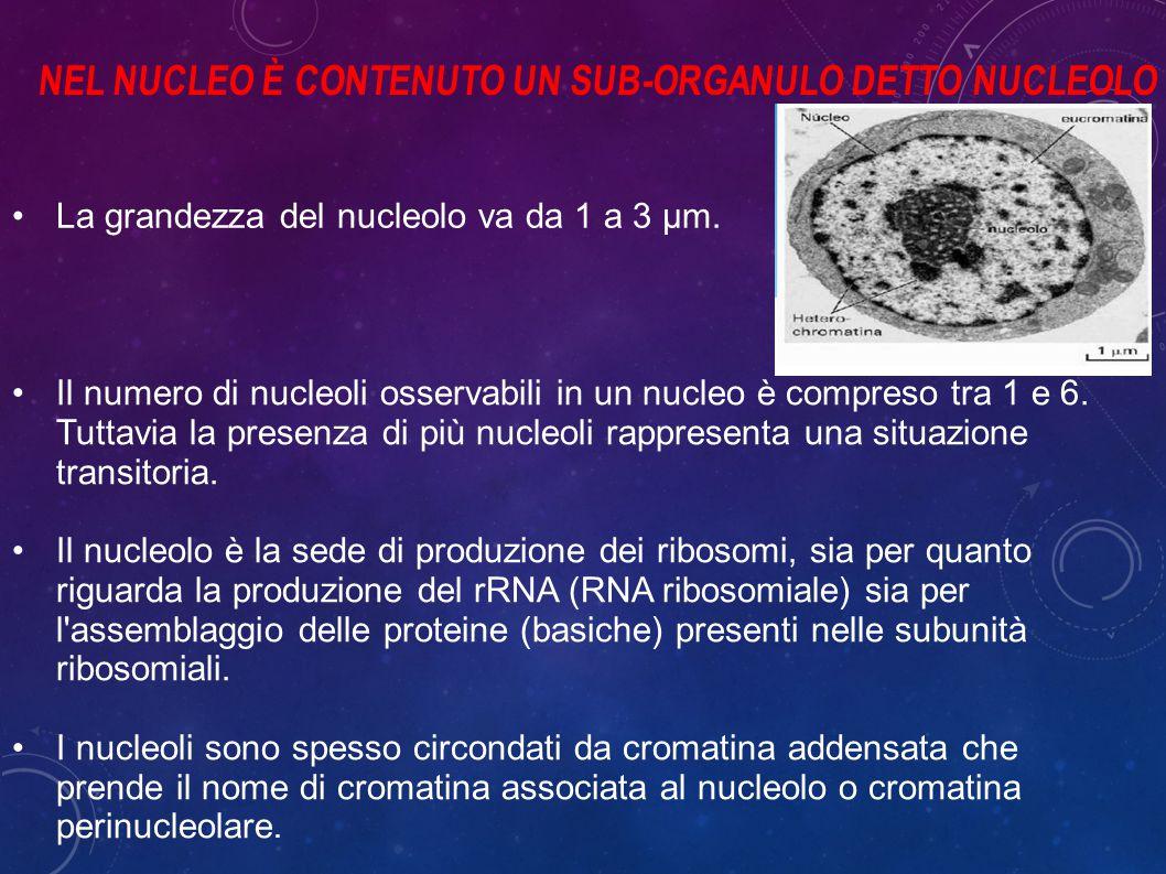 NEL NUCLEO È CONTENUTO UN SUB-ORGANULO DETTO NUCLEOLO