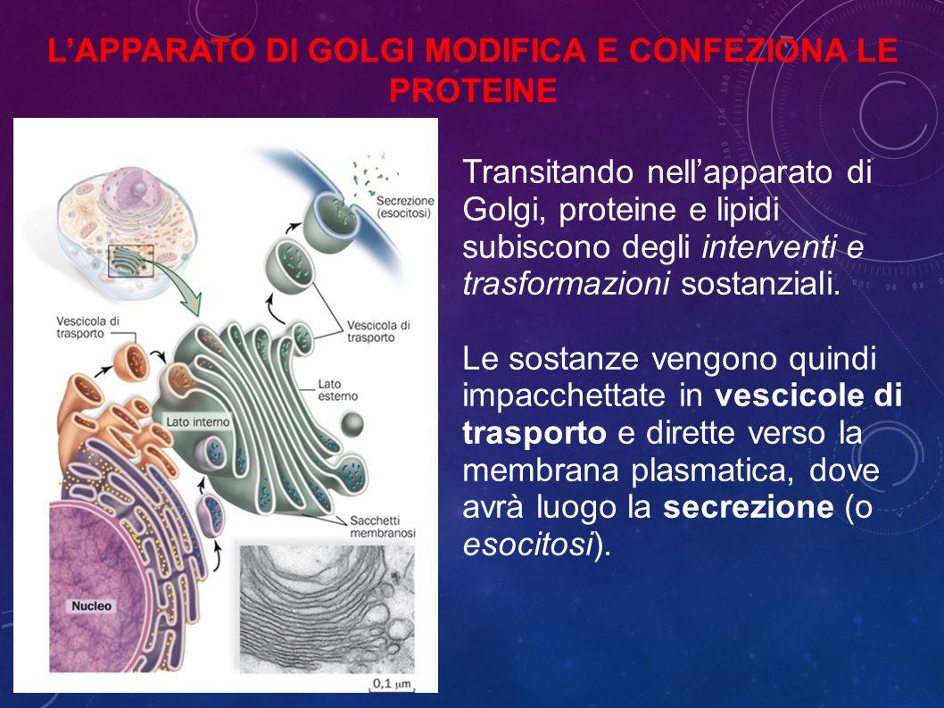 L'apparato di Golgi modifica e confeziona le proteine